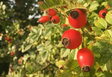 Dog rose - rose hips on the bush