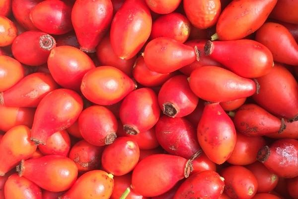 Collected rose hips, a lot and really close up